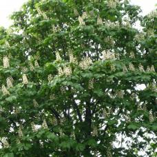 Каштан (цветы) 50 г