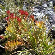 Красная щетка (корни) 50 г