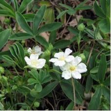 Лапчатка белая (корни) 50 г