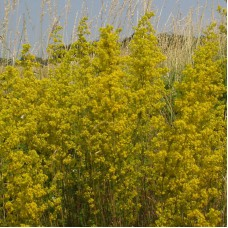 Подмаренник (трава) 50г